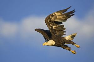 Fine art photographic printing. Eagle in flight