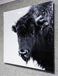 Buffalo MetalPrint. Buffalo Image ©Eugene Tapahe